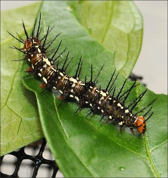 Flame butterfly caterpillar (Dryas iulia)
