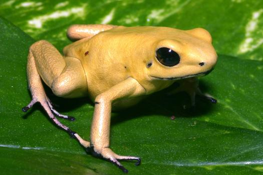 The skin of the Golden Poison Frog (Phyllobates terribilis) is, ounce for ounce, one of the most toxic substances on earth.