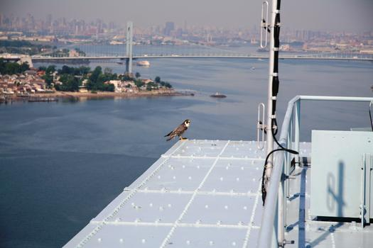 Adult Peregrine falcon atop the Throgs Neck