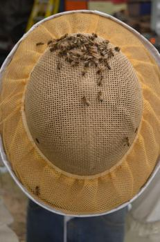 Some of the bees decided they liked a beekeeper's helmet
