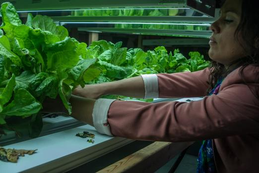 First hydroponic harvest at Los Sures (Southside United HDFC). Project funded by United Way.