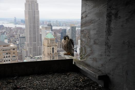 Adult falcon on the Met Life building in Midtown Manhattan