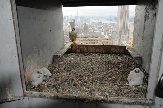 The Met Life's nesting box