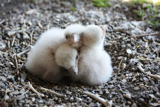 Falcon chicks on the  Marine Parkway-Gil Hodges Memorial Bridge