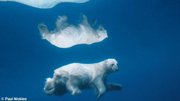 Polar bear under water. From Arctic Obsession, by Paul Nicklen.