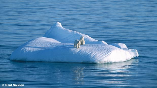 A mother bear and two-year-old cub drifting on glacier ice. From Arctic Obsession, by Paul Nicklen.
