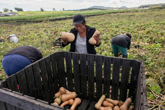 A team of three women giggle and chat as they harvest butternut squash at Glebocki farms.