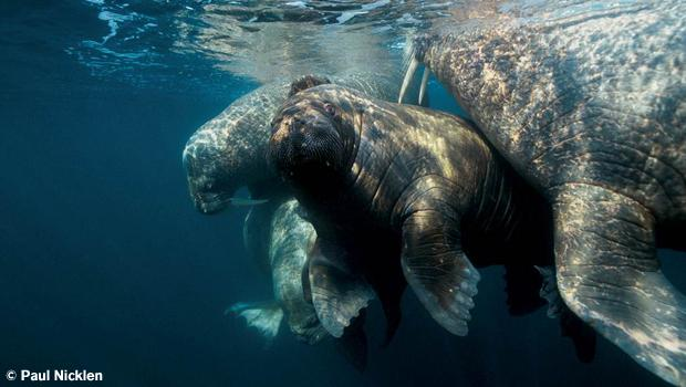 A walrus guards her young pup. From Arctic Obsession, by Paul Nicklen.