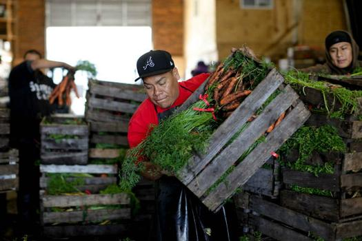 Bunched carrots are prepared for market.