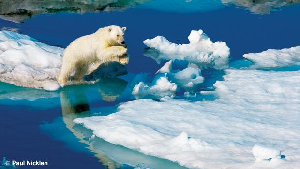 A young polar bear leaps between ice floes. From Arctic Obsession, by Paul Nicklen.