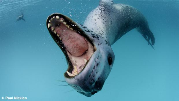 Leopard seal. From Arctic Obsession, by Paul Nicklen.