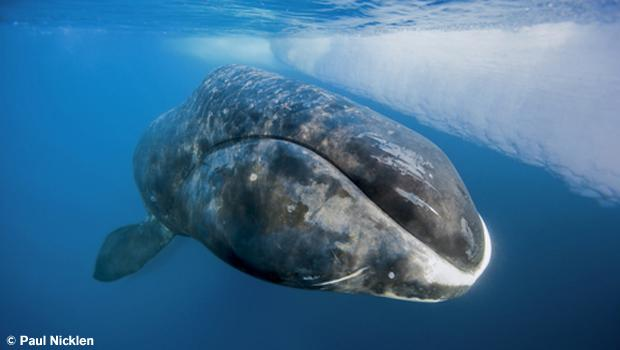 Bowhead Whale. From Arctic Obsession, by Paul Nicklen.