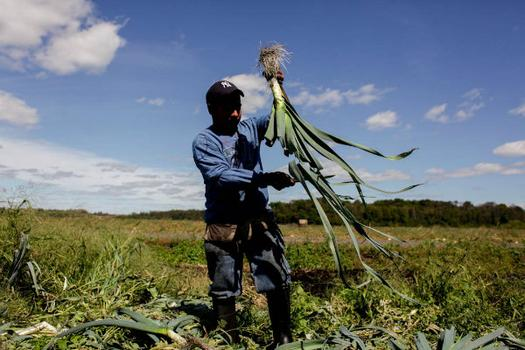A farmworkers trims leeks in the field.