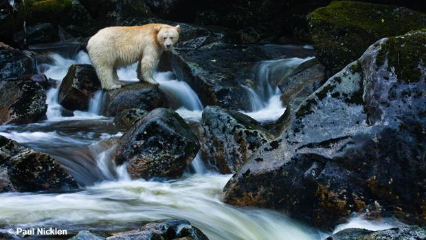 Spirit Bear. From Arctic Obsession, by Paul Nicklen.