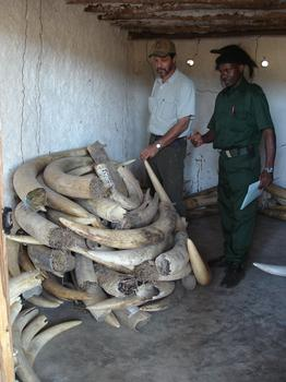 Richard Ruggiero, at an ivory storage room in Niassa Reserve in Northern Mozambique.