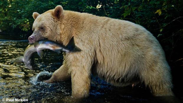 Spirit Bear with salmon. From Arctic Obsession, by Paul Nicklen.