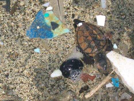 Baby turtle with plastic.
