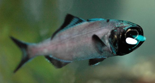 Flashlight fish (<em>Anomalops katoptron</em>)