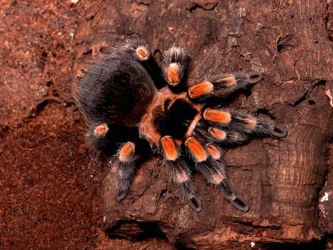 Mexican red knee (Brachypelma smithi)