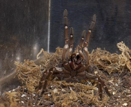 Goliath bird eater (Theraphosa stirmi)