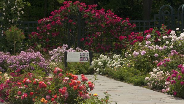 The Dortmund red climber roses set the backdrop for the pink Earthkind roses surrounding the EarthKind roses sign.