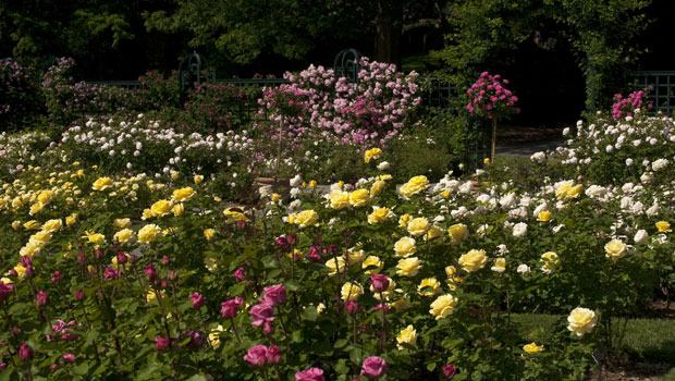 Roses pictured include pink August Renoir blooms, yellow Michelangelos, pink Double Knock Outs tree roses and Climbing Pinkies on the fences.