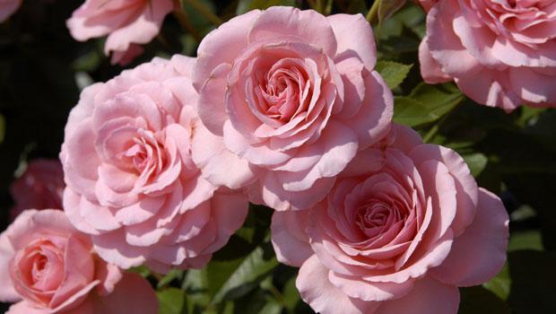 Rosana roses.