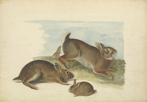 John James Audubon (1785–1851) Gray Rabbit: Old male, female, and young, 1841