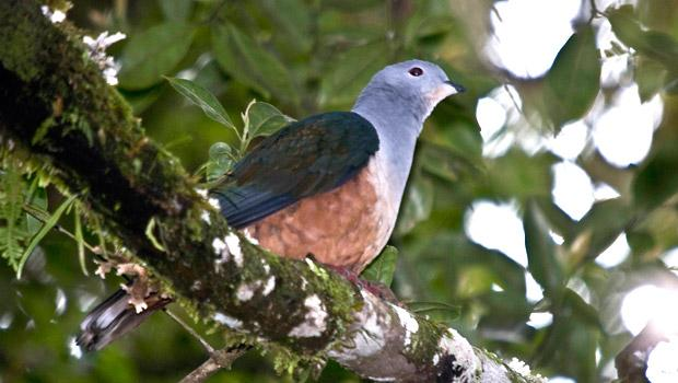 Foja Imperial Pigeon