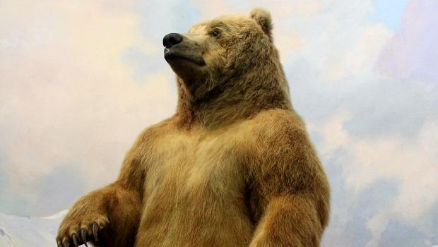 A stuffed grizzly bear in the Hall of North American Mammals at the American Museum of Natural History