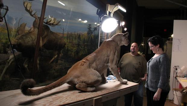 On Tuesday morning, a mountain lion awaited touch-ups.