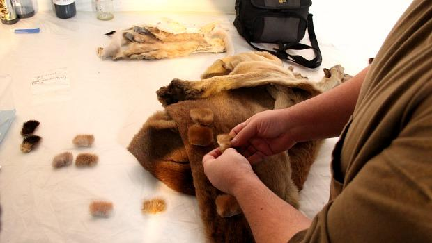 Specialist George Dante compares the test swatches of dyed fur with a real mountain lion pelt from museum storage.