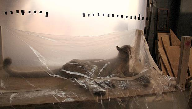 A second mountain lion awaits its turn to be re-dyed, eerily napping underneath a plastic covering in the meantime.