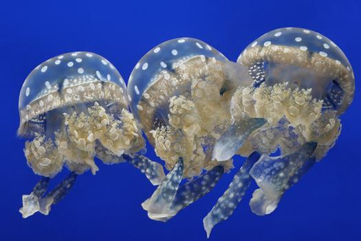 Spotted Jellies