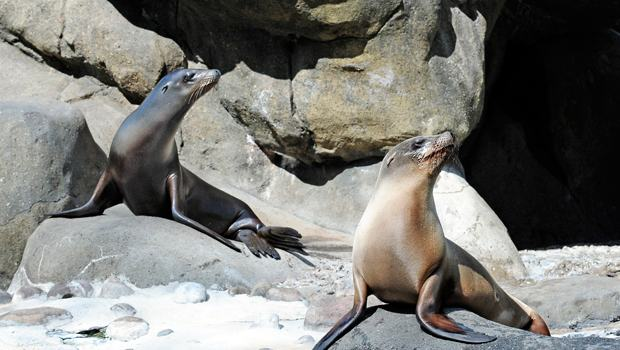 The California -- ahem New York -- Sea Lions Katie and Edith are in perfect form.