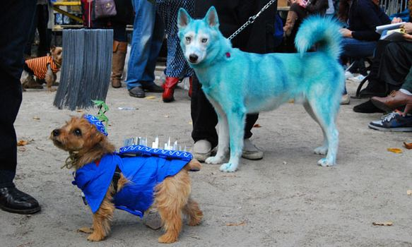 Hurricane Irene (left) stands with a character from Avatar (right), a husky whose fur was died with organic blue food coloring. (Its owner insisted the food coloring was not harmful!)