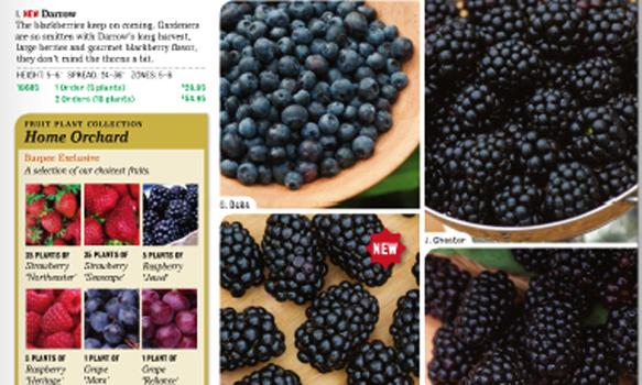 It is hard to resist licking this picture of glistening blackberries from the Burpee Gardening 2011 catalog.