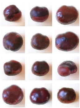 Chestnut Portrait Mosaic