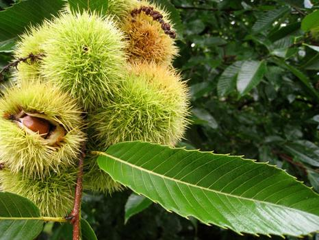 Fresh chestnuts on the tree.
