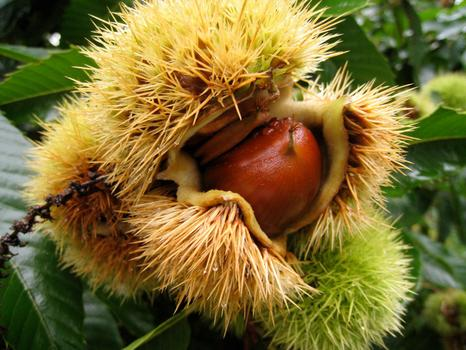 Fresh chestnuts have an outer skin that is surprisingly spiky and green.