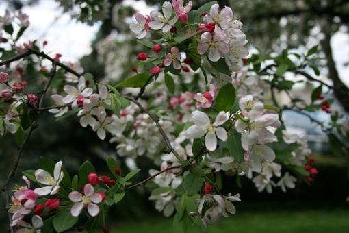 Japanese Crabapple bloom