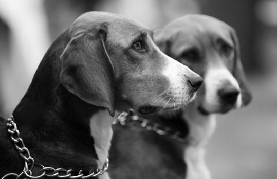 A Pair of Beagles (Courtesy of onEdition)