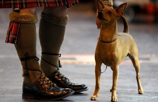 Ollie, a Mini Pinscher (Courtesy of onEdition)