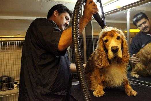 A dog getting groomed at Canine Styles.