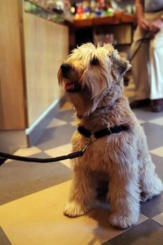 A dog awaiting grooming at Canine Styles.