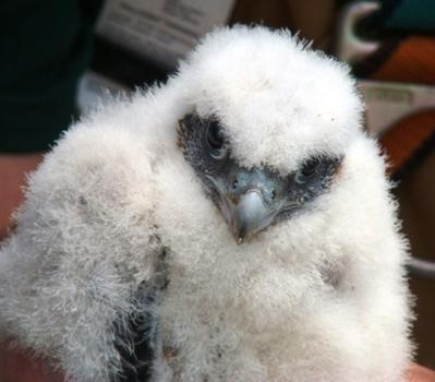 Baby boy falcon chick born atop the Throgs Neck Bridge.