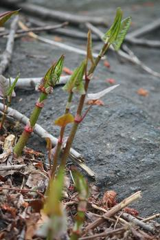 Young Japanese knotweed.
