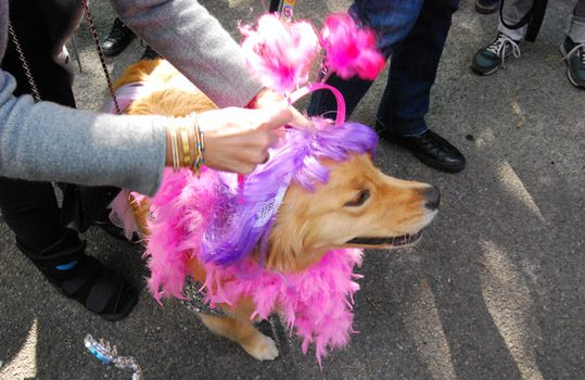 Here, the golden retriever Courtney Love gets her tiara on.