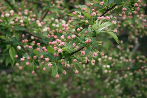 Oleacea blooms