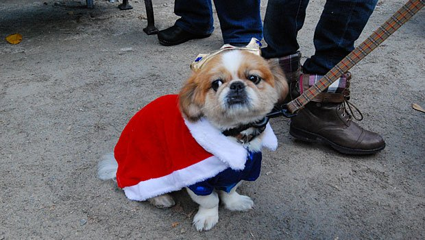Pancake, who was dressed up as a prince, may not have won any awards, but the half-Pekingese half-Tibetan Spaniel was one of the cutest little canines at the parade.